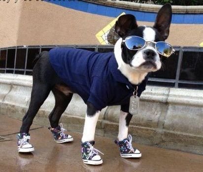 Boston Terrier wearing dog sneakers and sunglasses