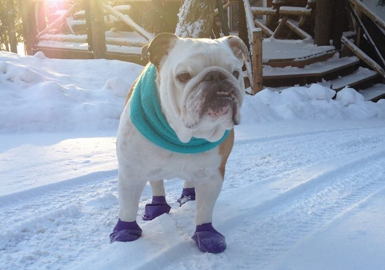 Disposable Dog Booties