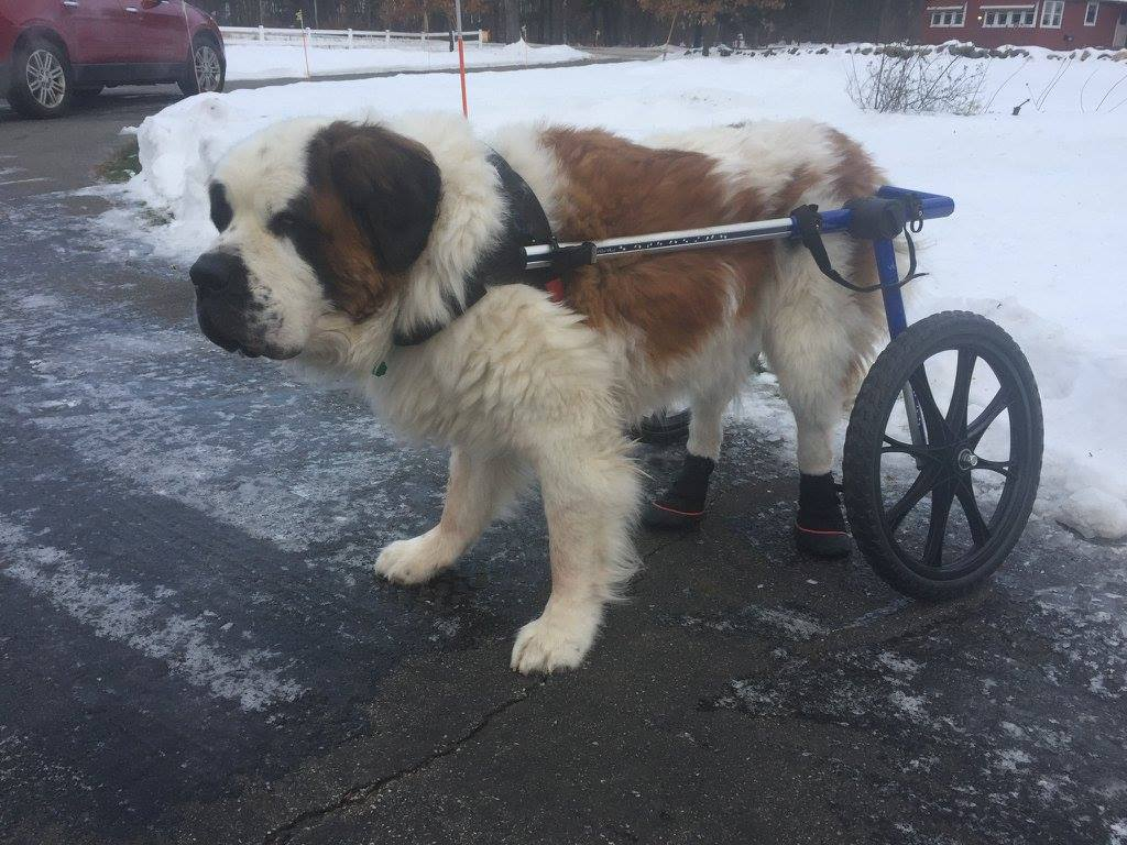 st bernard in a wheelchair wearing boots on rear paws