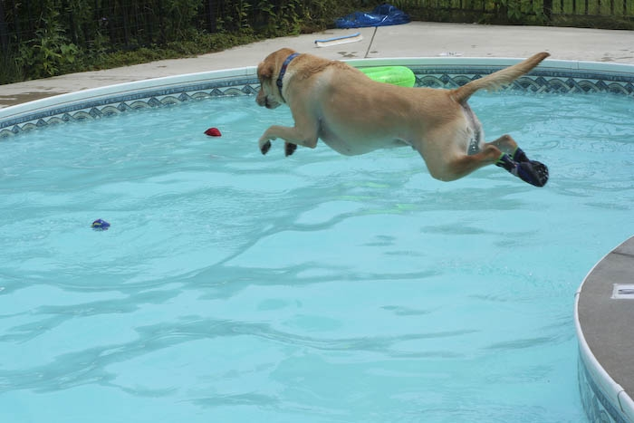 dog jumps into pool with boots on