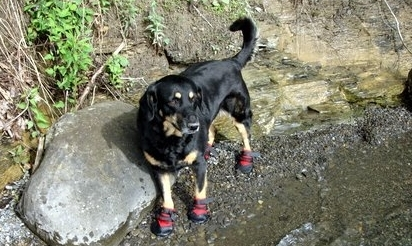 Dog wearing boots at the lake