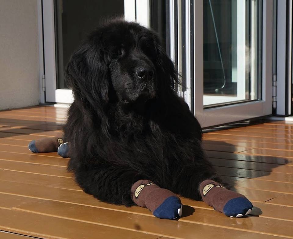 Newfoundland wearing dog socks