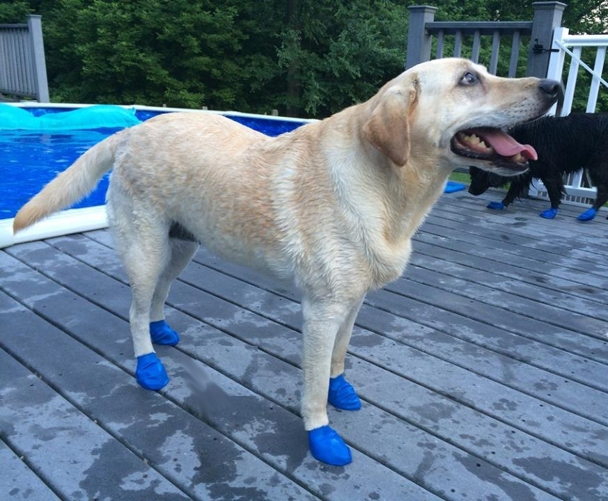 dog wearing blue boots on a pool deck