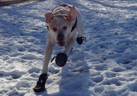 dog running through snow in boots
