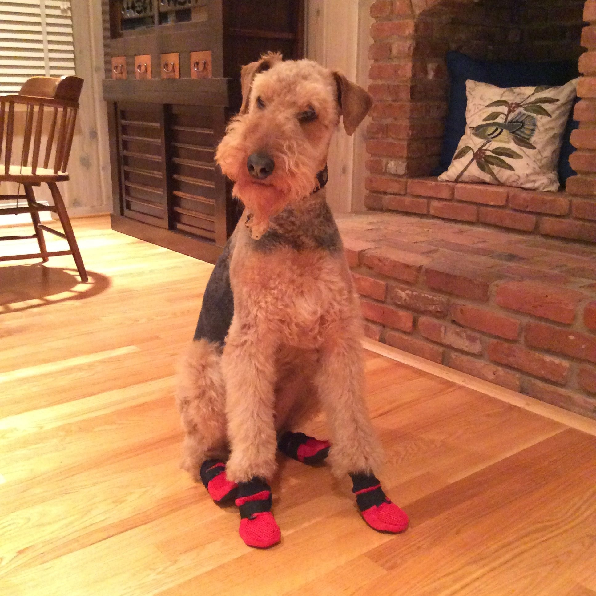 dog sitting on hardwood floor with red boots on
