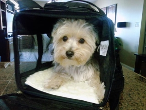 Dog in Sherpa Carrier