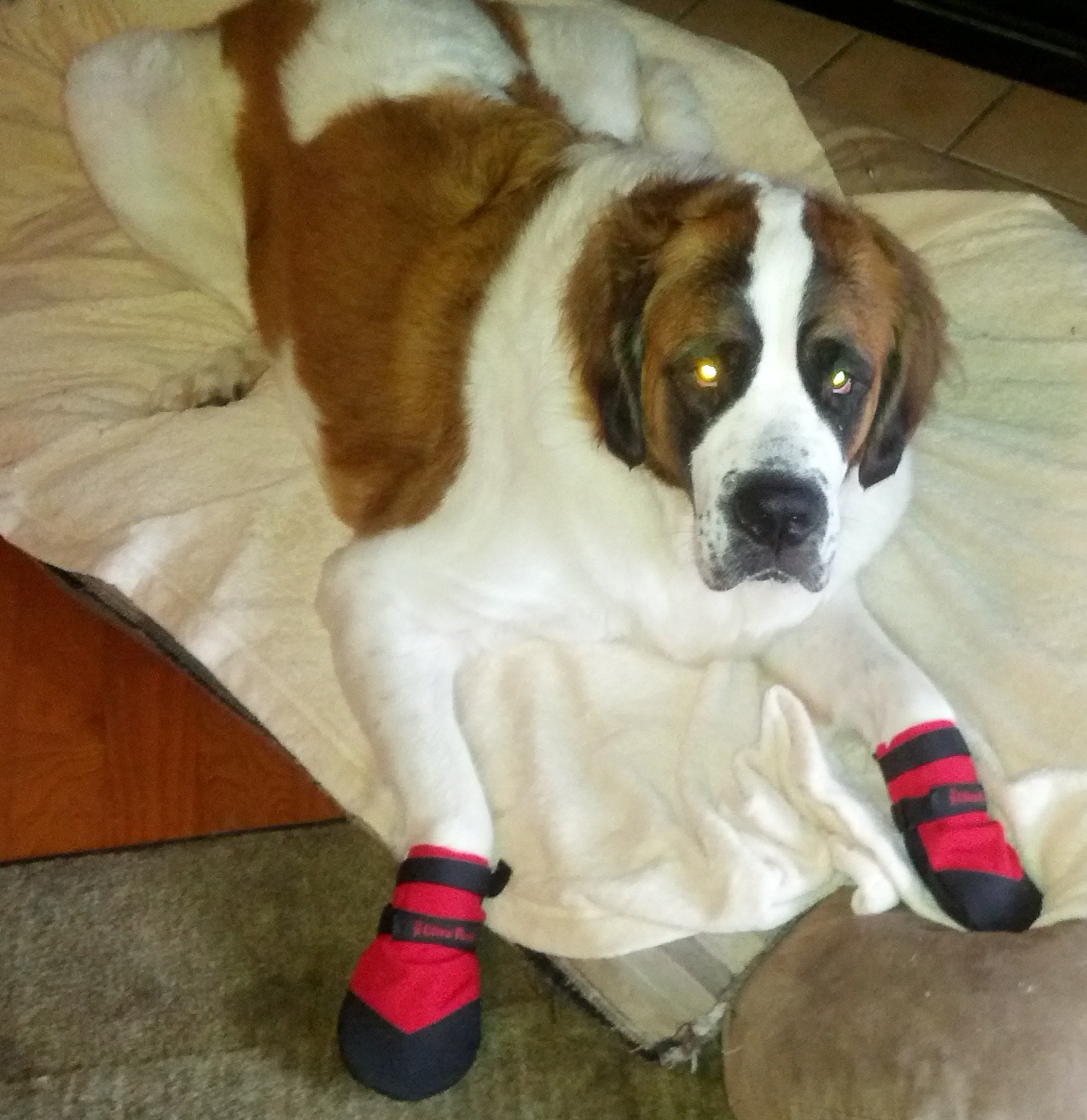 St. Bernard wearing red dog booties to prevent allergies