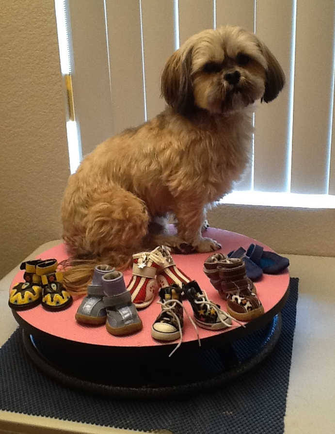Shih Tzu sitting on a counter with a lot of dog boots
