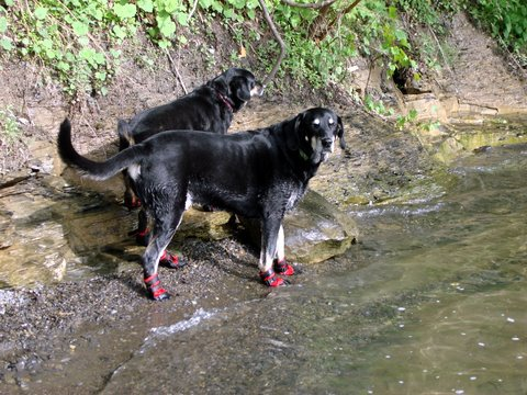 2 dogs wearing boots at a lake