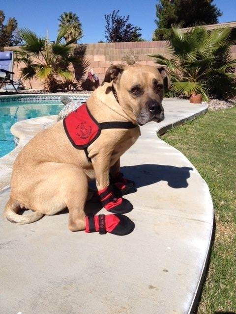 dog sits near pool with boots on