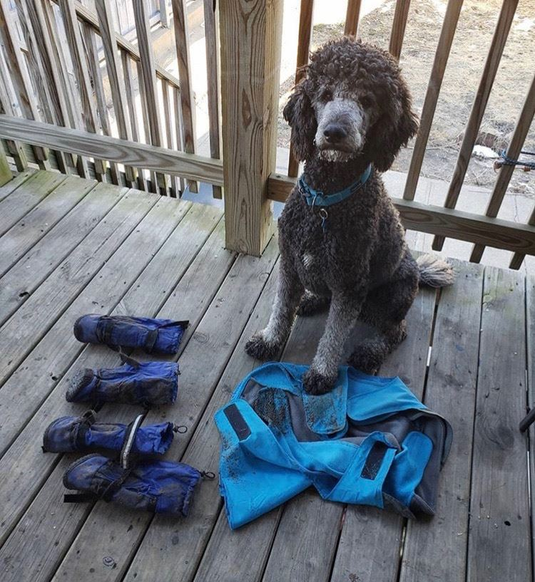 a very muddy poodle sitting next to dirty dog boots
