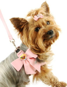 yorkie wearing a fancy collar and bow