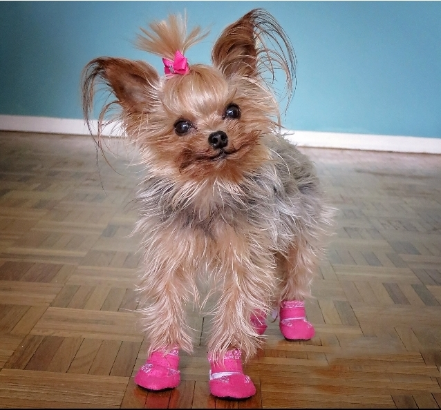 yorkie wearing tiny pink dog booties