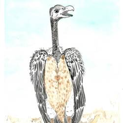 Slender billed Vulture size - 8.5x11.8In - 8.5x11.8