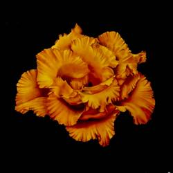 Radiance.....Lisianthus size - 18x18In - 18x18