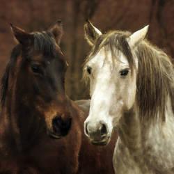 Tow Horses - 35x23