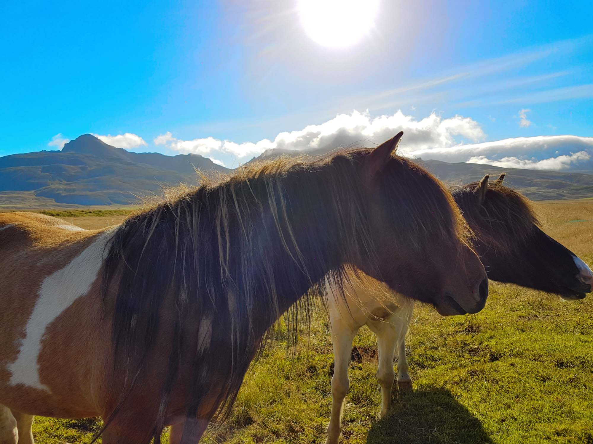 Icelandic horses during the summertime
