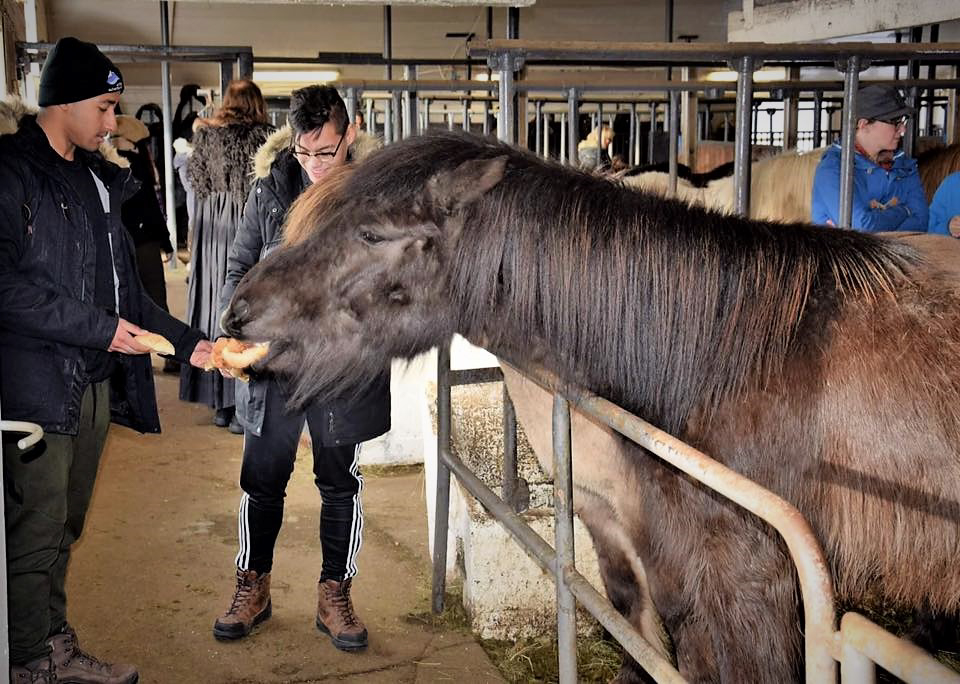 Feeding an Icelandic Horse in a Stable in Iceland