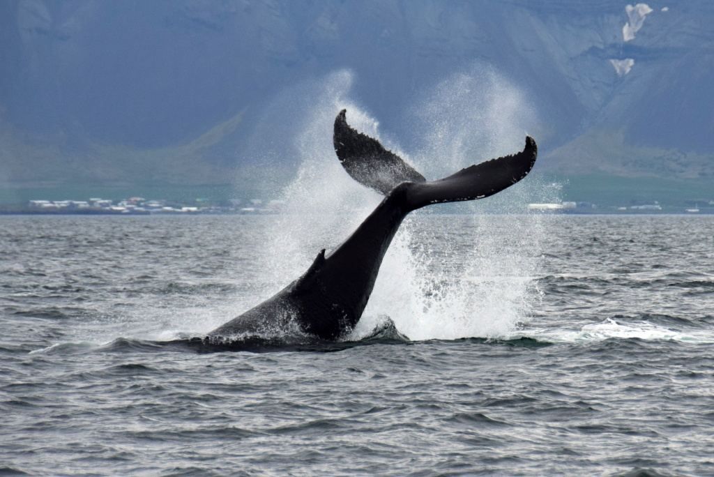 Whale spotted on whale watching tour in Iceland
