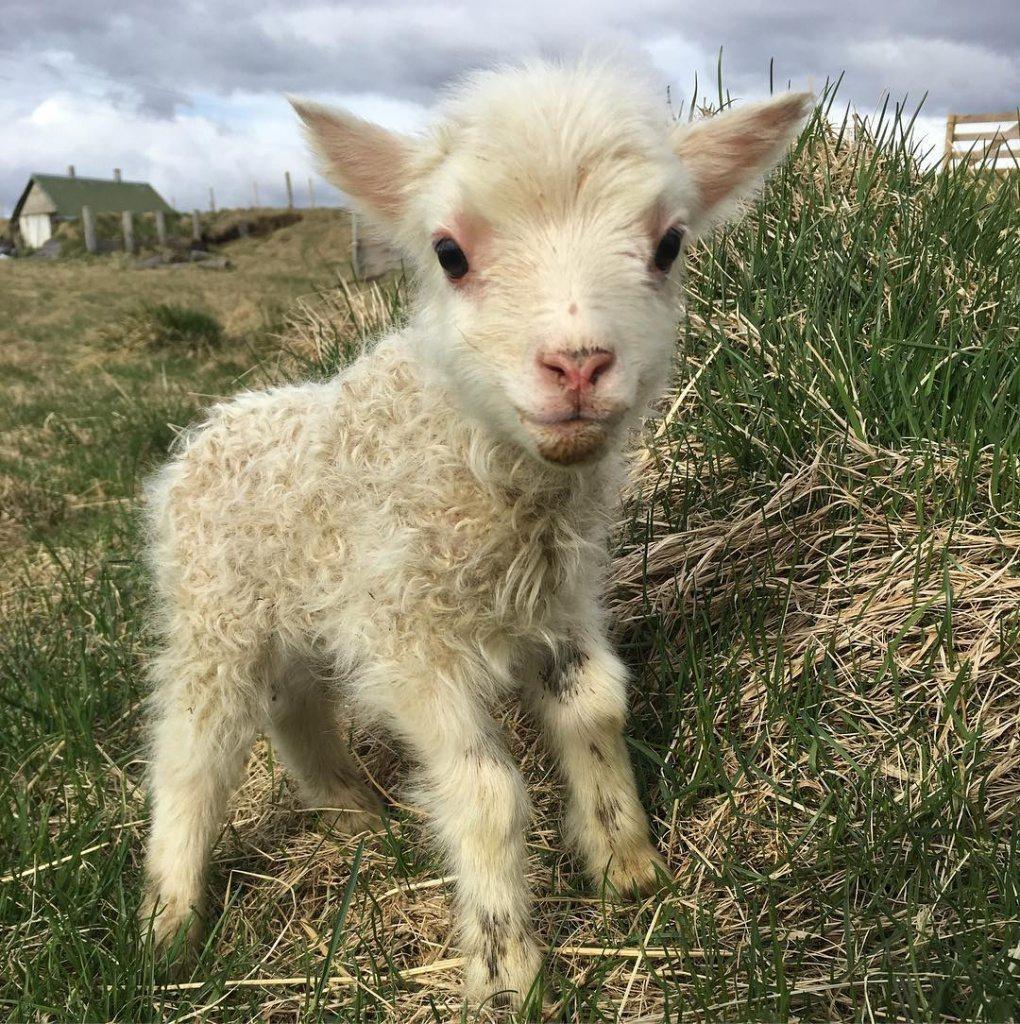 icelandic-lamb