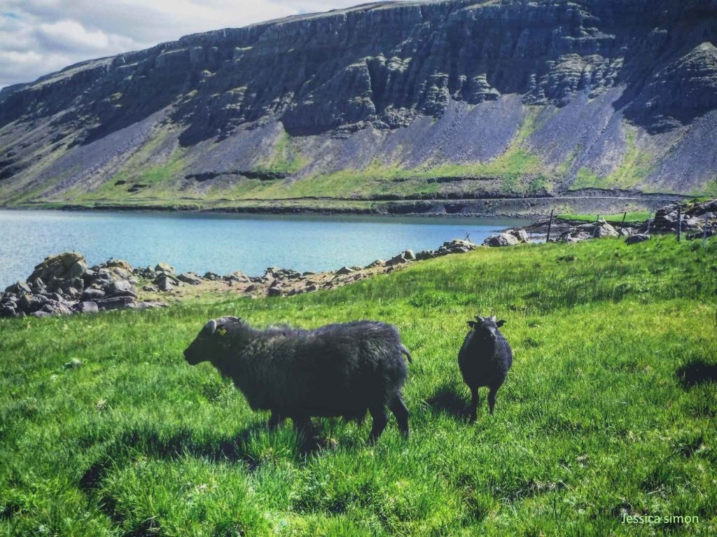 Two black Sheeps in Iceland