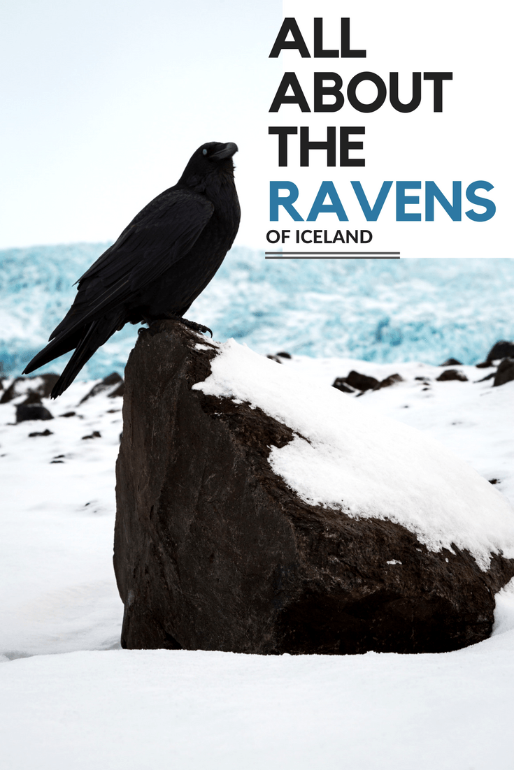The ravens of iceland all about iceland have you ever seen an icelandic raven biocorpaavc