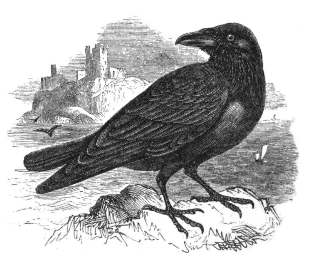 hrafn-raven-iceland