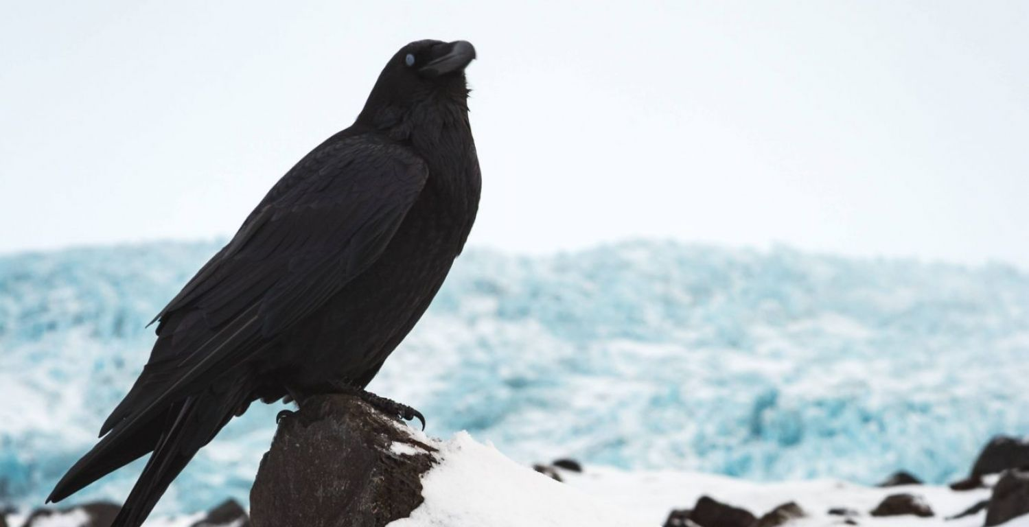 The Ravens Of Iceland All About Iceland