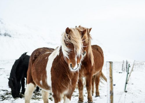 Icelandic-horses-winter