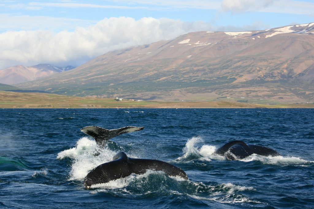 whale-watching-dalvik-Iceland