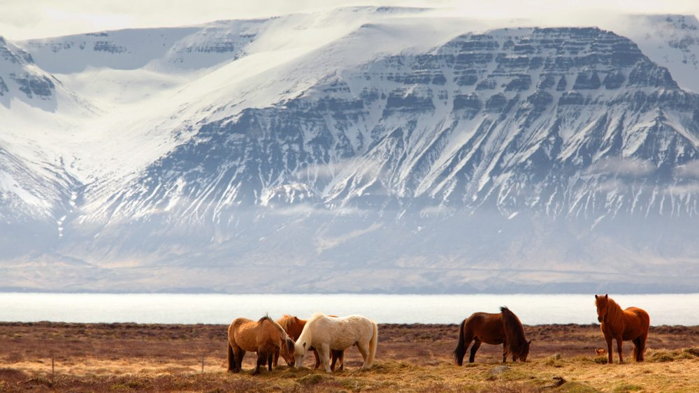 Horses in the landscape in Iceland