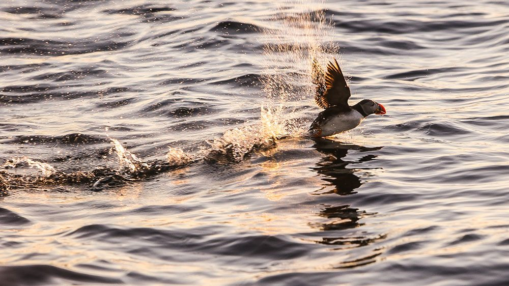 Puffin flying over the sea