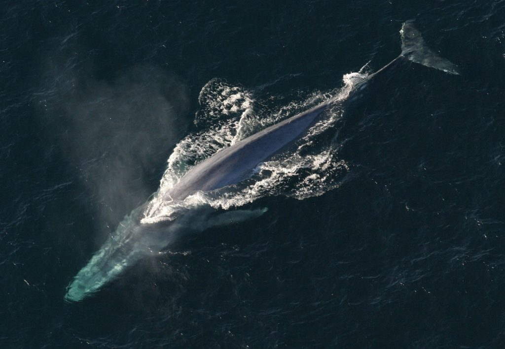 blue-whale-iceland-tour