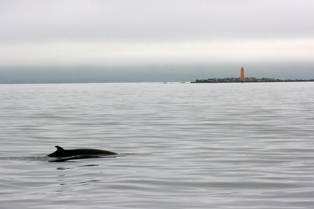 minke whale iceland