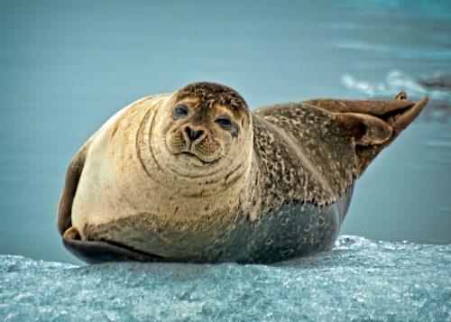 seals in jokulsarlon glacier lagoon iceland
