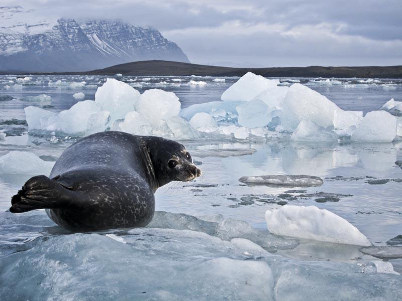 Icelandic-Seals