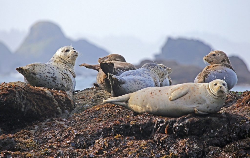 seals-iceland