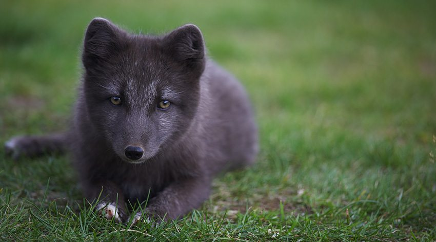 The Arctic Fox Iceland