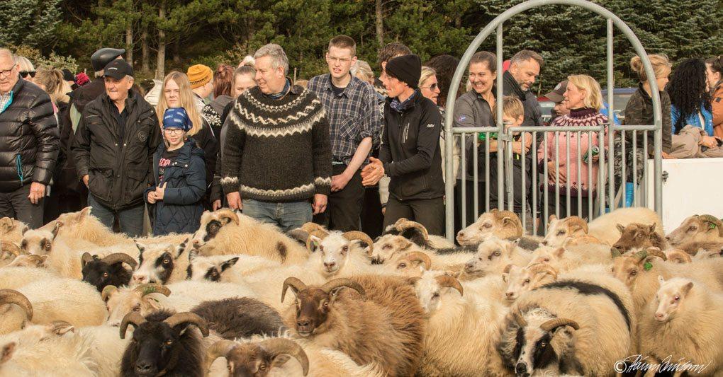 Rettir Sheep Herding Iceland