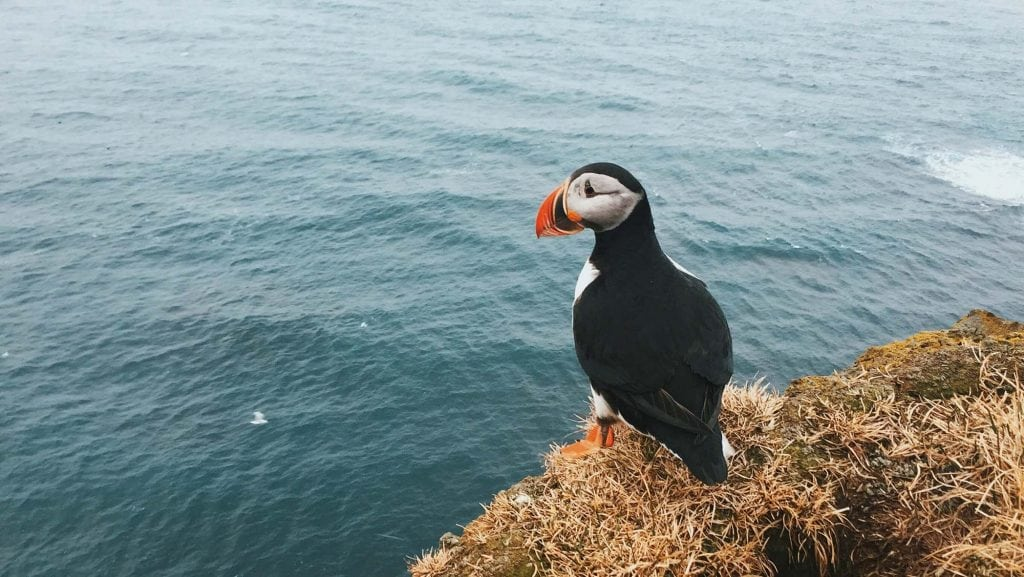 puffin-bird-Iceland