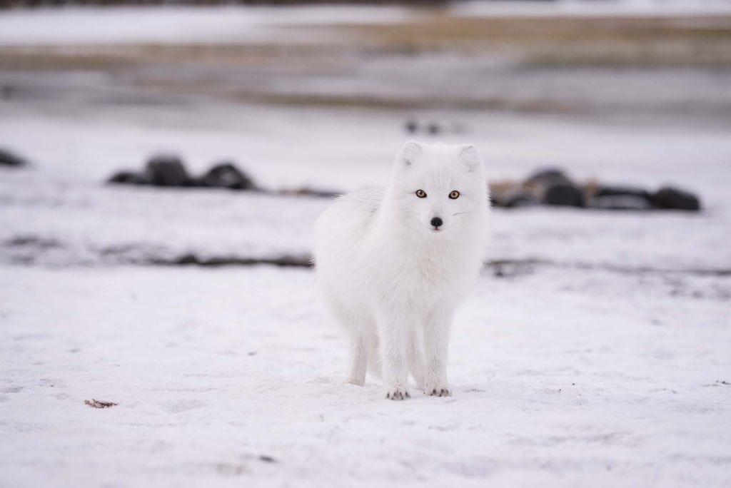arctic-fox-jonathan-pie