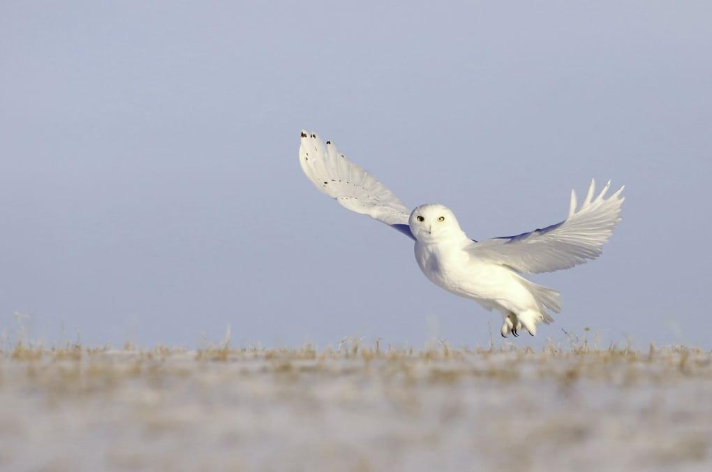 Snow Owl Iceland