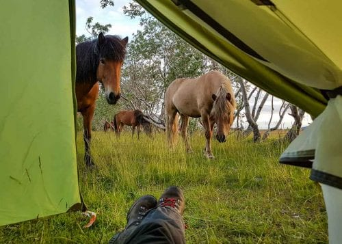 horses on the campsite in Thorsmork