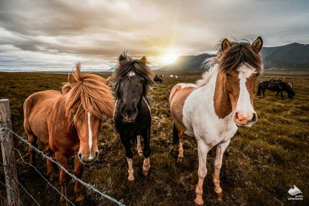 Icelandic horses at sunshine