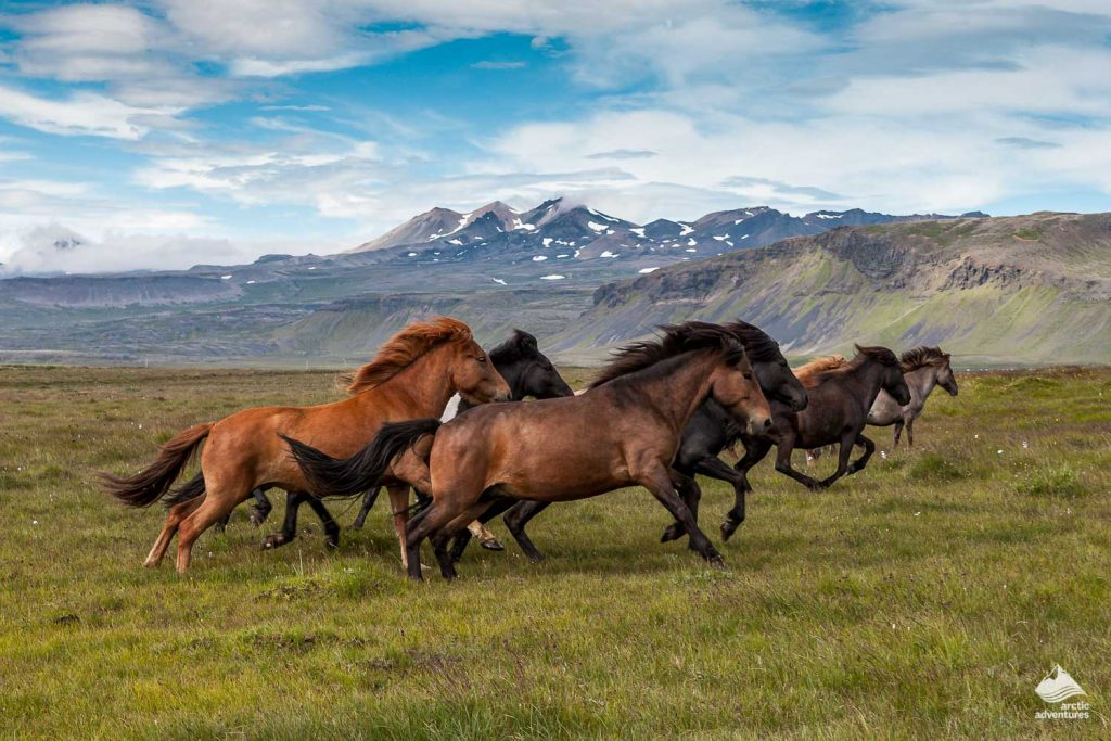 Group of horses running in Iceland