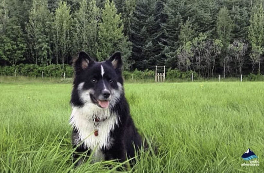 Icelandic Sheepdog Askur.