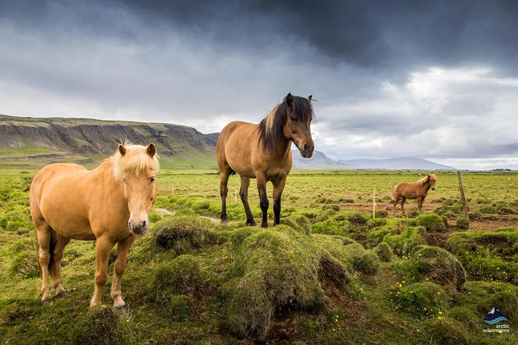 Icelandic Horses in a Meadow