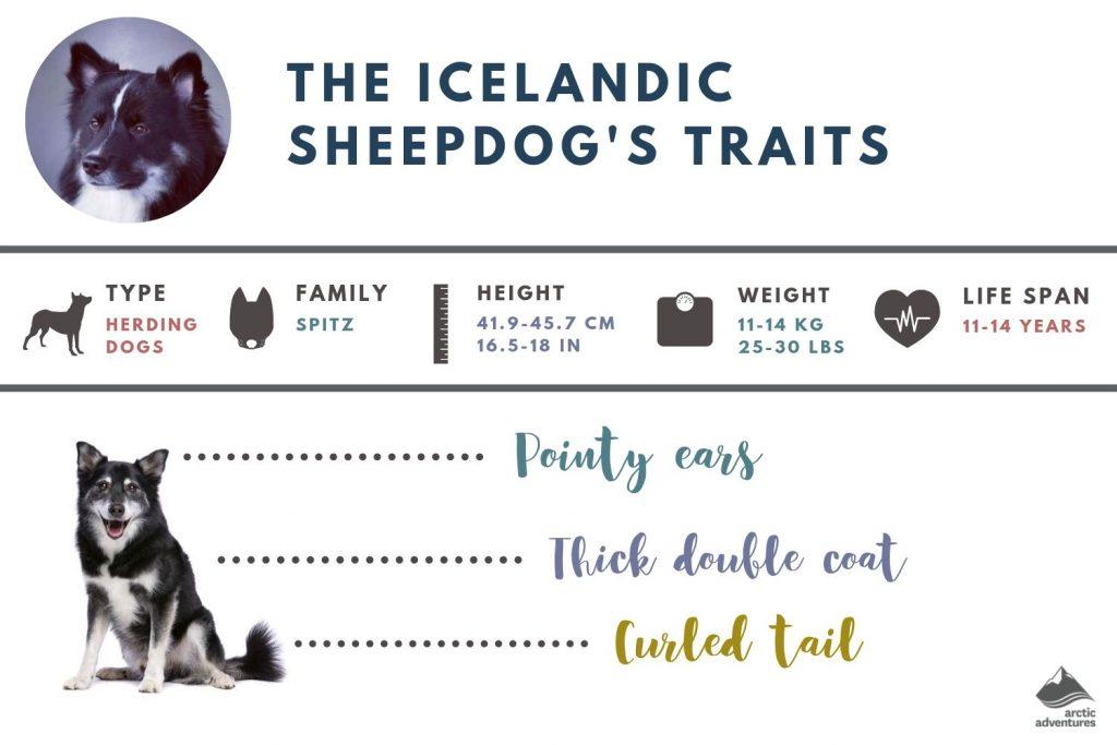 Icelandic Sheepdog's characteristics