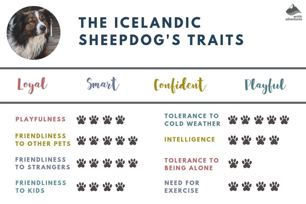 Icelandic Sheepdog's traits