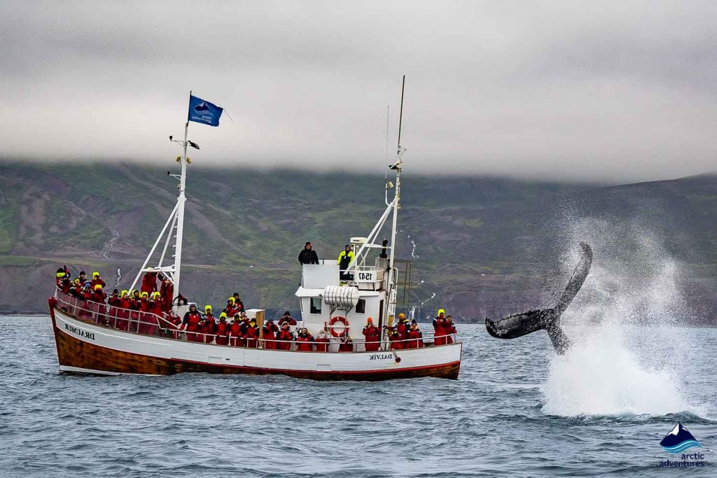 Whale watching from Dalvik